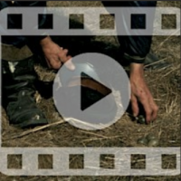Collecting eggs from seabirds in the village of Maxmo (film from 1977). Fisherman Albert Westerholm (born in 1906) collecting seagulls' eggs to eat. The Society of Swedish Literature in Finland (SLS), SLS 1245.